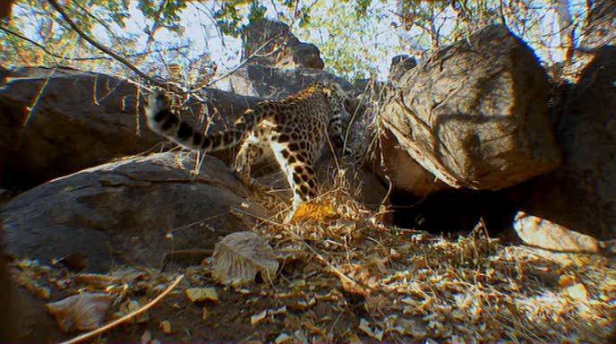 BBC: Тигр - Шпион джунглей - Tiger: Spy in the Jungle