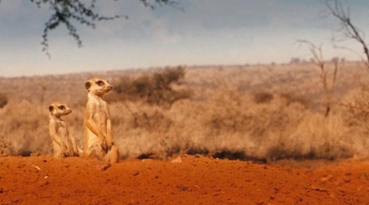 Сурикаты - The Meerkats