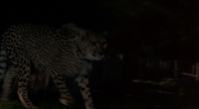 Гепард - Cheetah