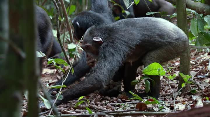Шимпанзе - (Chimpanzee)