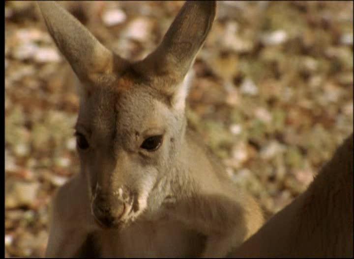 НГО: Возвращение кенгуру - National Geographic: Kangaroo Comeback