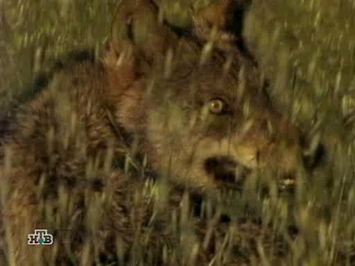 Волк! Испанский изгнанник - Wolf! The spanish outlaw
