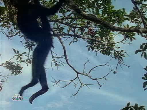Сети паукообразной обезьяны - Web of the Spider Monkey