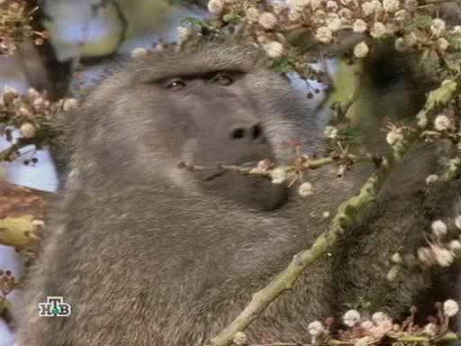 Бабуины и человек - Baboons too close for comfort