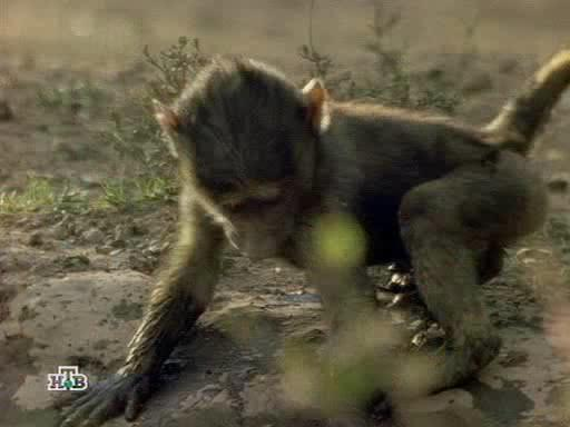 ������� � ������� - Baboons too close for comfort