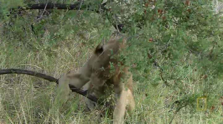 National Geographic: ����� �����: ����� �� ��������� - (Lion Army. Battle To Survive)