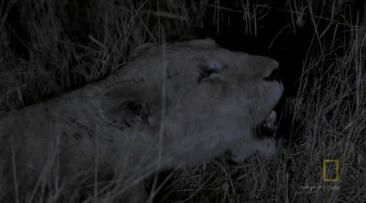National Geographic: Армия львов: Битва за выживание - (Lion Army. Battle To Survive)