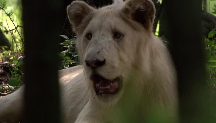 Белый лев - White Lion