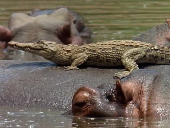 National Geographic Special: Последний пир крокодилов - Last Feast of the Crocodiles