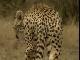 Тайный мир животных: Львы, гепарды, леопарды: жестокий мир хищников