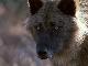 Жизнь с волками - Living with Wolves