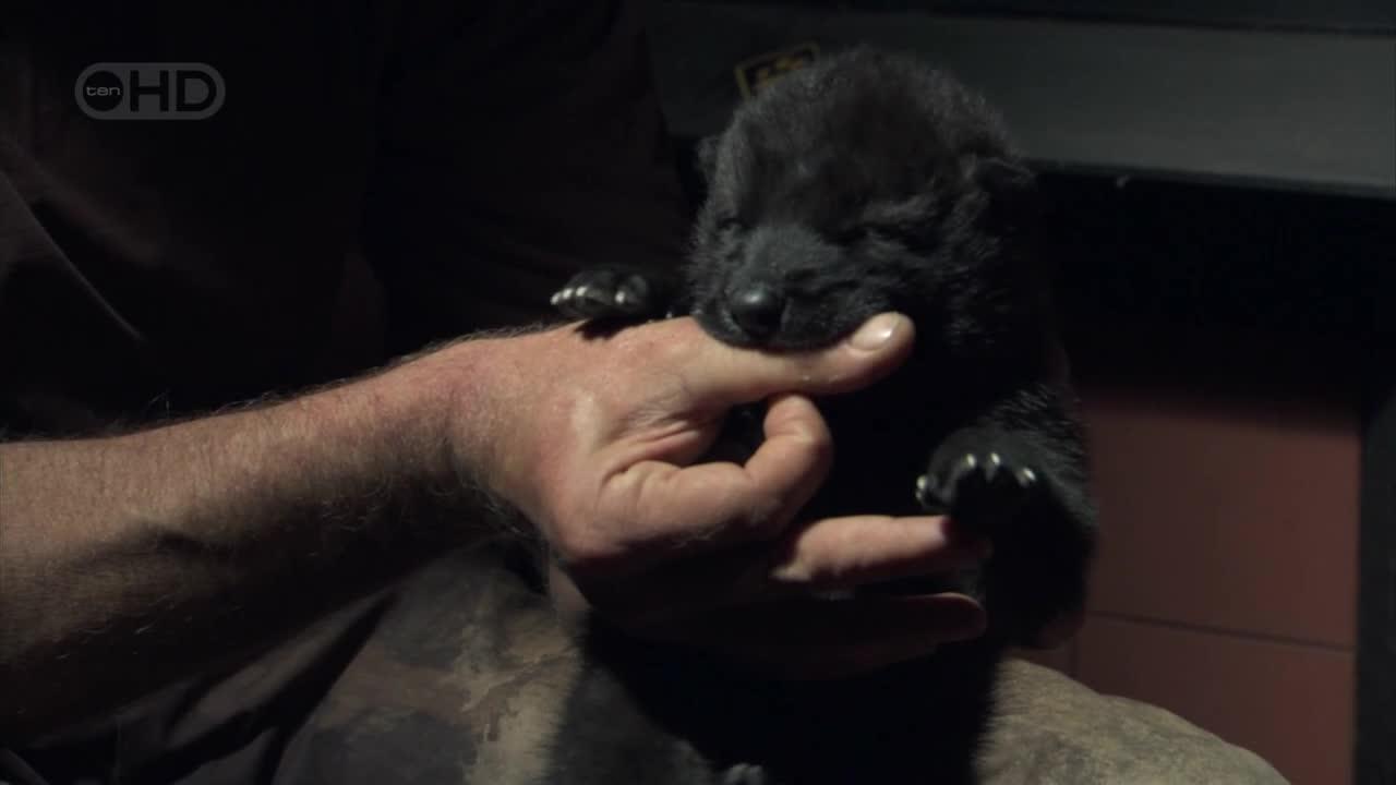 National Geographic: Человек-волк - National Geographic: The Wolfman