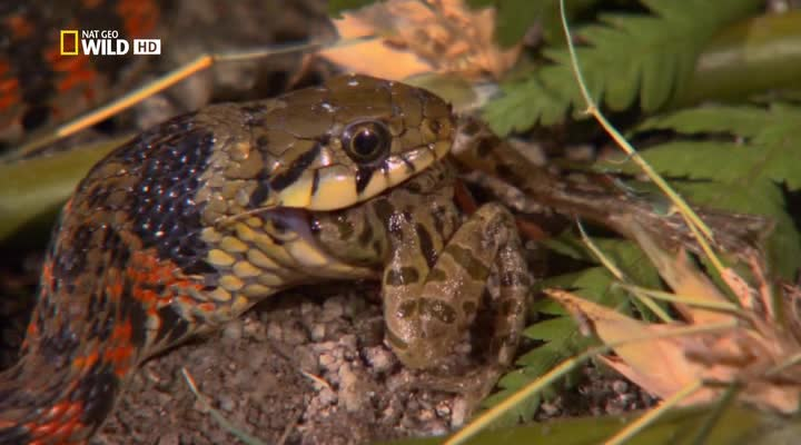 N.G: Самые опасные змеи в мире - N.G: Worlds deadliest snakes