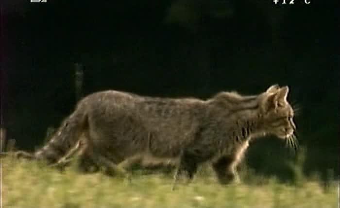 Тайная жизнь Eвропейских млекопитающих: Европейская дикая кошка - The Secret Life Of European Mammals: European Wildcat