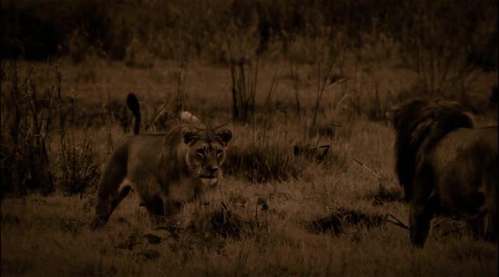 Последние львы - The Last Lions