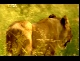 Жизнь до рождения: Кошки - In the womb Cats