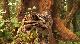 Возвращение дымчатых леопардов - National Geographic. Return of the Clouded Leopards
