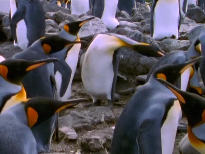 BBC: Плотоядные. Касатка - BBC: Wildlife Special - Killer Whale