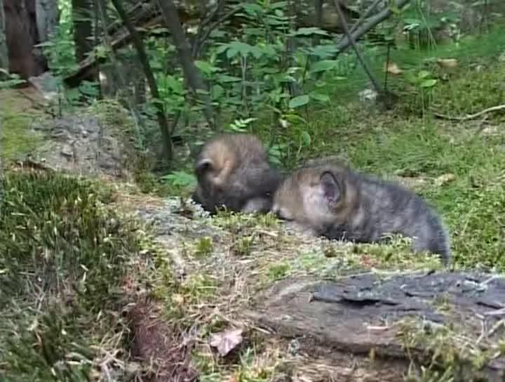 Лесные братья : Волчата - Braskove
