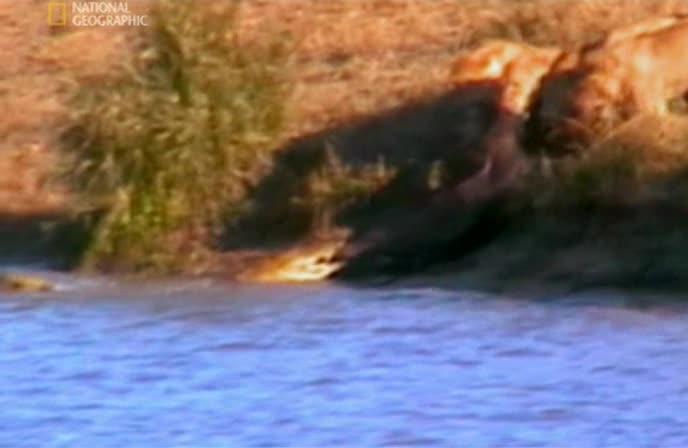 Случай на сафари: Битва в Крюгер парке - Caught on safari: Battle at kruger