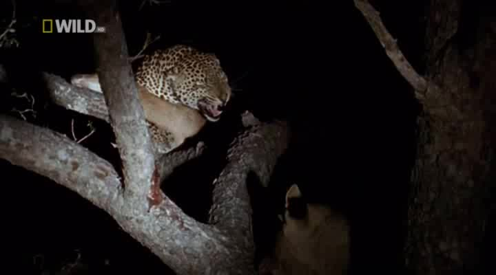 National Geographic: �������� ��������� - (Leopard Queen)