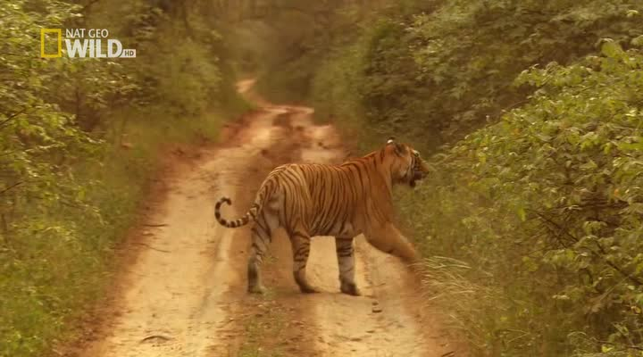 National Geographic : �������� ������ - (Tiger Queen)