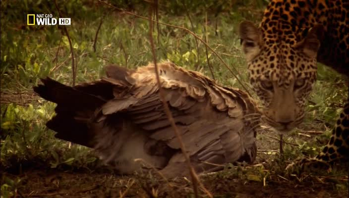 National Geographic: ��������� ������� - National Geographic- The Unlikely Leopard