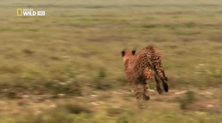 Nat Geo Wild: Человек против гепарда - Man vs. Cheetah