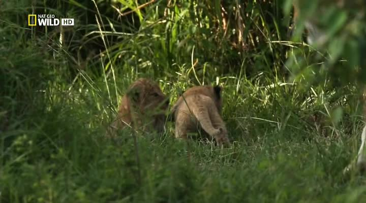 Nat Geo Wild: ���� ����� - Nat Geo Wild- Game of Lions