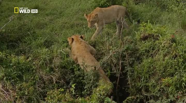 Nat Geo Wild: Игры львов - Nat Geo Wild- Game of Lions