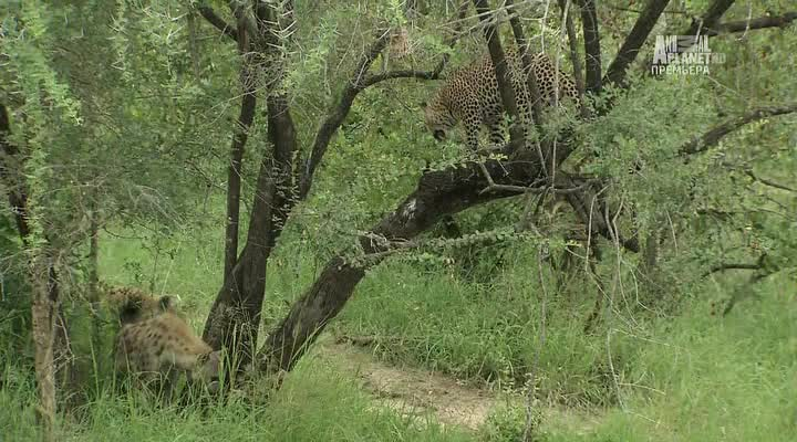 Бойцовский клуб для леопарда - Leopard Fight Club