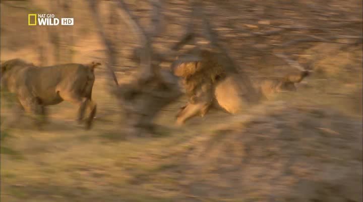 National Geographic: Дикая Ботсвана: Братство львов - National Geographic- Wild Botswana- Lion Brotherhood
