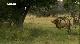 National Geographic: Дикая Ботсвана: Братство львов - National Geographic- Wild Botswana- Lion Brotherhood