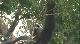 Дикая природа. Семейные узы: Западная равнинная горилла
