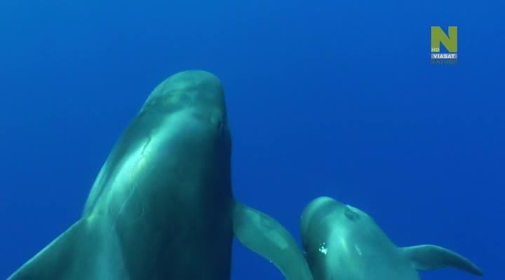 Гринды – морские охотники - Cheetahs Of The Deep