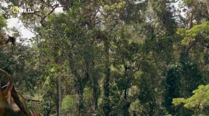 Последний рай орангутанов - The Last Orangutan Eden