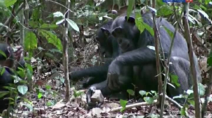 ������� �������. �������� ������ - The Secret of the Apes - Narrowing the GAP