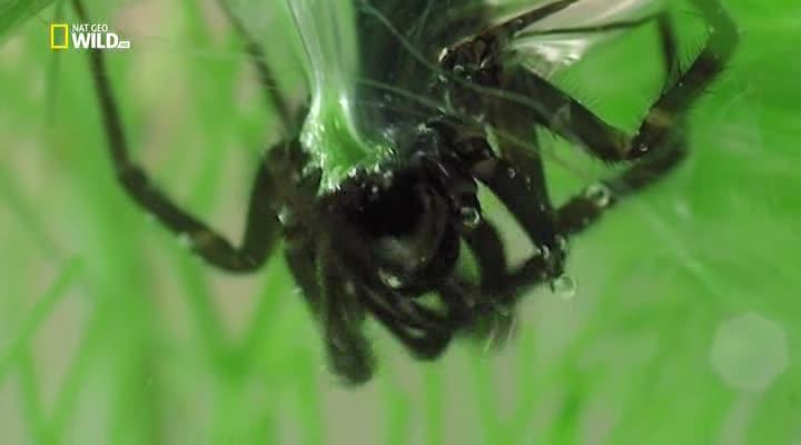 Удивительные пауки - Incredible Spiders