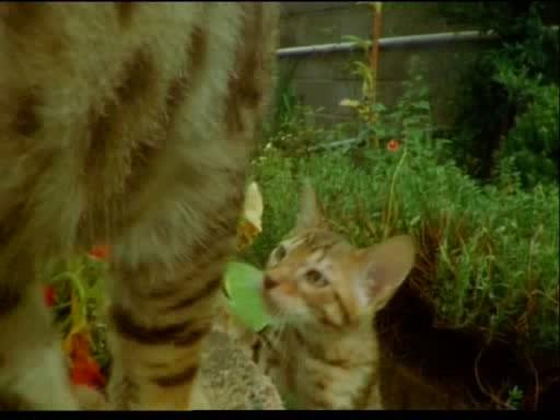 �BC: ����� �������. ���������� ����� - BBC: Natural world. The Cat Connection