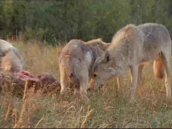 Волки - Wolves