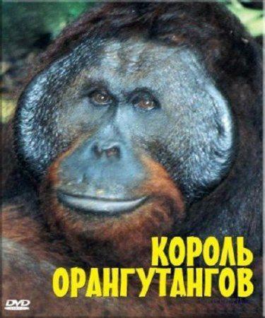 BBC: Живой мир (Мир природы): Король орангутангов - (The Natural World. The Orangutan king)