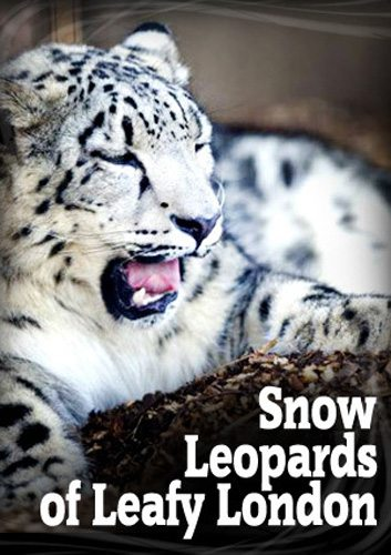 Снежный барс в зелёном Лондоне - Snow Leopards of Leafy London
