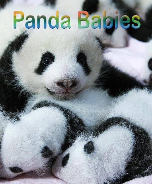 Маленькие панды - Panda Babies